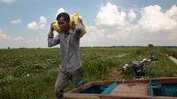 Sriev Kry membawa buah dari bunga teratai di provinsi Koh Thom, Phnom Penh, Kamboja, 25 April 2017. Sekarang Sriev Kry senang berada di rumah dan bersumpah dia tidak akan pernah meninggalkan keluarganya lagi. (AP Photo/Heng Sinith)
