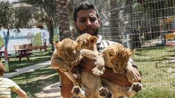 Petugas menunjukkan tiga bayi singa yang baru lahir di sebuah kebun binatang di Rafah, Jalur Gaza (8/9/2019). Kehadiran tiga bayi singa ini menambah koleksi satwa sebuah kebun binatang tersebut. (AFP Photo/Said Khatib)