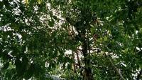 Posisi badan korban sudah tersandar di tangga dan cabang pohon cengkih tersebut.