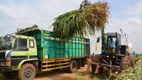 RNI kembangkan biomassa napier grass atau biasa disebut rumput gajah sebagai bahan baku biofuel. (Foto: RNI)