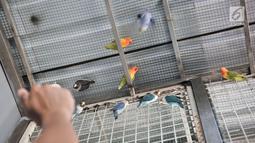 Peternak saat bermain dengan burung lovebird di sebuah peternakan kawasan Duren Sawit, Jakarta, Minggu (23/9). Nilai jual burung lovebird tergantung tingkat keindahan warna dan kicauan. (Merdeka.com/Iqbal Nugroho)