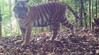 Keluarga harimau Rima tertangkap kamera (Liputan6.com / M.Syukur)