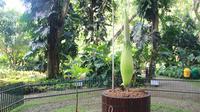 Bunga Bangkai asal Sumatera ini bakal menjadi salah satu daya tarik wisatawan domestik maupun mancanegara. (Liputan6.com/Achmad Sudarno)
