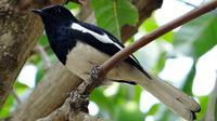 Burung Kacer atau Kucica Kampung (sumber: Pixabay)