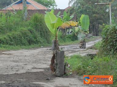 Citizen6, Tasikmalaya: Jalan Raya Cipanas Galunggung, Desa Linggajati, Kecamatan Sukaratu,  Tasikmalaya yang rusak akibat belum medapat penanganan dari Pemda setempat ditanami pisang sebagai bentuk protes warga. (Pengirim: Dian Rizki)