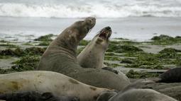 """Sekelompok gajah laut dan anak-anak mereka menempati Pantai Drakes di California, Jumat (1/2). Gerombolan gajah laut tersebut menduduki pantai saat tempat wisata itu tutup dan tak bisa beroperasi karena """"shutdown"""" pemerintah AS.  (AP/Eric Risberg)"""