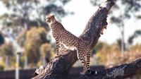 Kebun binatang besar baru pertama di Sydney yang sudah lebih dari 100 tahun akan dibuka pada hari Sabtu. (Liputan6/Sydney Zoo)