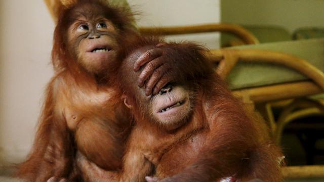 Malaysia Berhasil Selamatkan Kedua Bayi Orangutan Lucu Ini