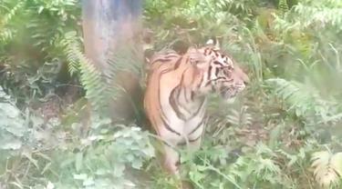 Harimau sumatra yang menampakkan diri di bawah pipa minyak Taman Nasional Zamrud, Siak.