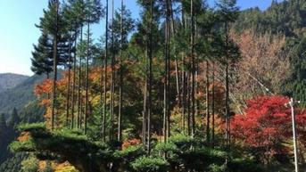 Mengenal Daisugi, Tradisi Unik Menanam Pohon di atas Pohon di Jepang