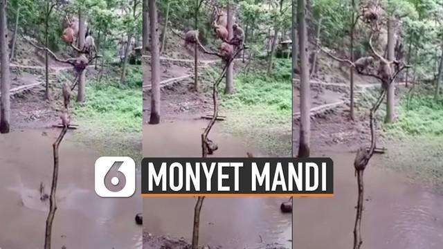 Tidak hanya manusia saja yang senang bermain dengan air. Monyet pun juga senang bermain air bersama teman-temannya.