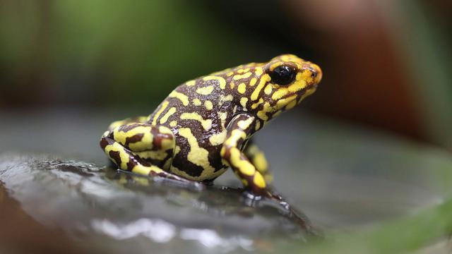 520 Koleksi Gambar Hewan Amfibi Dan Fungsinya Terbaru