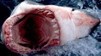 Saksi mengatakan jika pemuda itu mengusir hiu ganas dengan tinjunya. (ilustrasi)