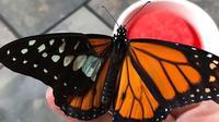 Transplantasi sayap kupu-kupu (Sumber: Boredpanda)