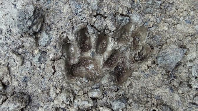 Jejak harimau mangsa ternak warga di Riau (Liputan6.com/M Syukur)