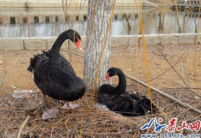 Sepasang angsa hitam sedih karena kehilangan telur mereka   Photo: Copyright shanghaiist.com