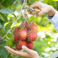 ilustrasi buah rambutan/copyright by Shutterstock