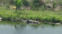 Seekor buaya mati telentang di pinggir anak sungai Batanghari sempat membuat heboh sebagian warga Jambi. (Foto: Istimewa/B Santoso)