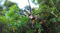Laba-laba sudah membuat sarang dan menjaring mangsa di pagi hari hutan Cikole (foto:Liputan6.com/edhie prayitno ige)