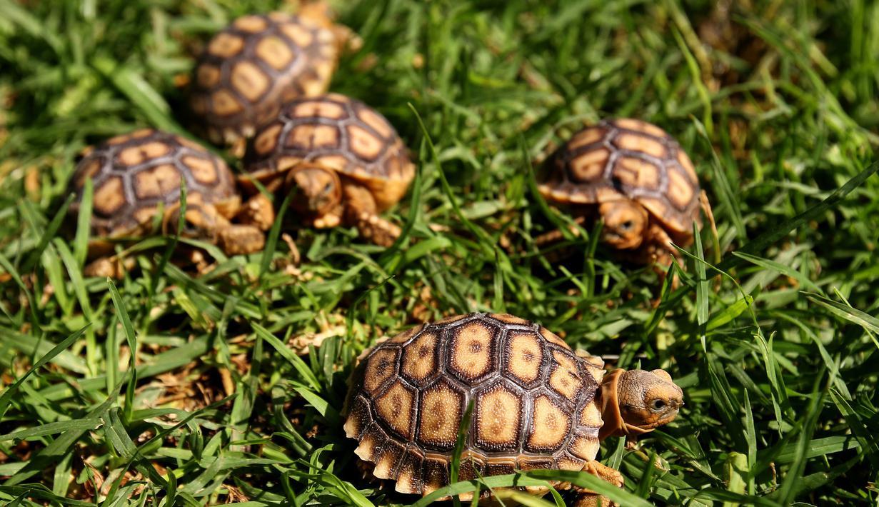 Lima kura-kura Afrika yang baru lahir (Centrochelys Sulcata) berjalan di rumput di kebun binatang, Guadalajara, negara bagian Jalisco, Meksiko (17/5). (AFP Photo/Ulises Ruiz)