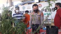Kapolres Tasikmalaya AKBP Rimsyahtono menunjukan puluhan tanaman ganja yang ditanam Iwan alias Patek di perbukitan, Desa Sukamaju, Kecamatan Bantarkalong, Tasikmalaya, Jawa Barat. (Liputan6.com/Jayadi Supriadin)