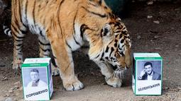 Harimau Bartek memilih kotak bergambar presiden Ukraina, Volodymyr Zelenskiy saat memprediksi pemilu presiden Ukraina di kebun bintang Royev Ruchey, Rusia (15/4). Kebun binatang ini menggunakan harimau untuk memprediksi pemenang pada pemilu presiden Ukraina mendatang. (Reuters/Ilya Naymushin)
