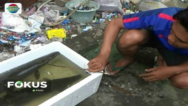 Dua ekor ikan aligator kembali tertangkap jaring warga yang ditebar di Kali Item. Oleh warga, ikan tersebut akan diserahkan pada pihak berwenang.