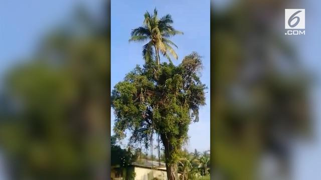 Media sosial dihebohkan dengan beredarnya video yang menunjukkan pohon kelapa tumbuh di atas pohon beringin.