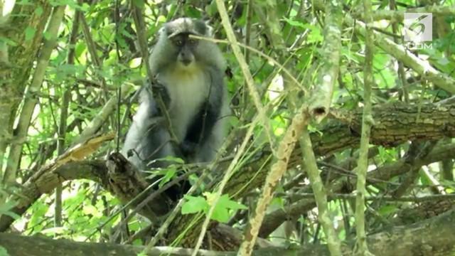 Penampakan monyet langka Samango terekam kamera. Ditemukan di hutan hujan Afromonte, Afrika Selatan.