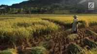 Petani memanen padi varietas Ciherang di areal persawahan Desa Ciwaru, Sukabumi, Sabtu (23/6). Petani mengeluhkan  harga gabah kering panen saat ini Rp 488 ribu/kwintal dibanding tahun lalu yang menembus Rp 600 ribu/kwintal. (Merdeka.com/Arie Basuki)