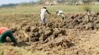 Kekeringan mengakibatkan para petani terpaksa mencongkeli sawahnya yang kering untuk dijual sebagai tanah uruk.