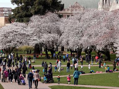 Orang-orang menikmati bunga sakura pada hari pertama musim semi di kampus Universitas Washington, Seattle, Selasa (20/3). Setiap tahun ketika pohon sakura Yoshino di ibu kota AS ini bermekaran, banyak wisatawan yang ikut merayakan. (AP/Elaine Thompson)