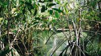Ilustrasi hutan bakau. (dok. Unsplash.com/Maxwell Ridgeway/@maxwellridgeway)