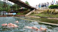 Suatu rangkaian pertandingan olahraga diikuti oleh sekelompok babi di Tiongkok.