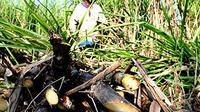 Pekerja memotong pohon tebu di perkebunan tebu Colomadu, Karanganyar, Jateng. Pemerintah mentargetkan produksi gula tahun ini diperkirakan bisa mencapai 2, 8 juta ton atau lebih tinggi dibanding tahu