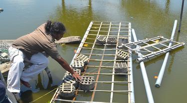 Aming, warga Bondan, Desa Ujungalang, Kampung Laut, Cilacap memeriksa kepiting peliharaan di tambak yang dikelola kelompok, (Foto: Liputan6.com/Muhamad Ridlo).