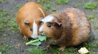Ilustrasi sepasang marmot. (Sumber Pixabay)