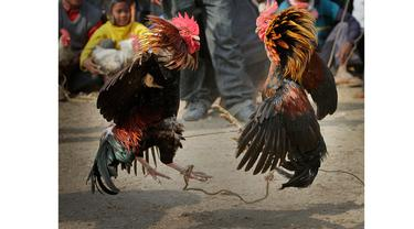 Sedang Adu Ayam, Tiga Orang Tewas Tersambar Petir