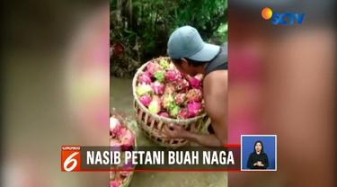 Aksi petani buah naga di Banyuwangi yang membuang hasil panennya kini tengah viral. Sementara Bupati mengatakan itu siklus biasa.