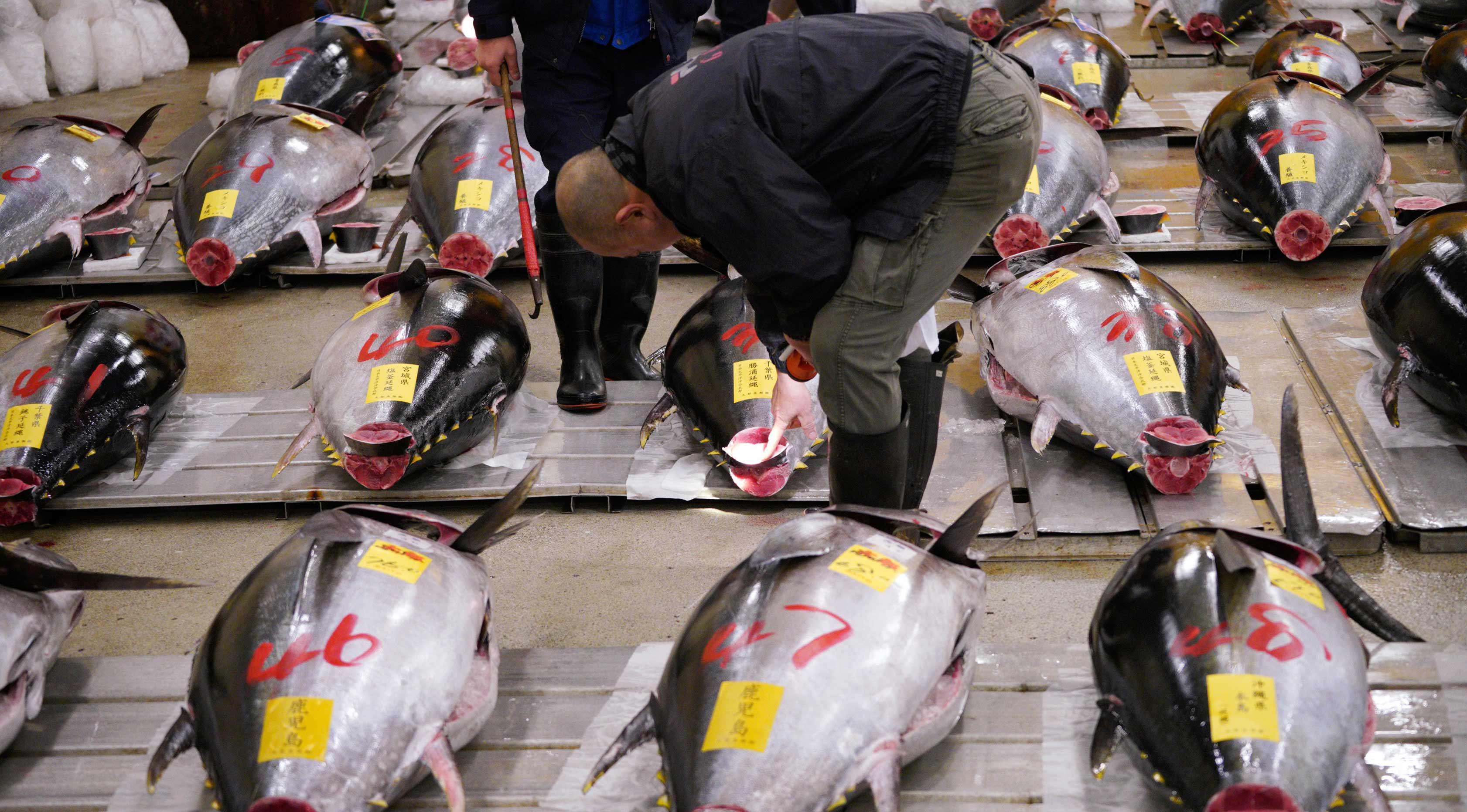 Calon pembeli memeriksa kualitas ikan tuna segar sebelum pelelangan pertama tahun ini di pasar ikan Tsukiji di Tokyo (5/1). Presiden LEOC Co, Hiroshi Onodera, yang mengelola bisnis restoran sushi memenangkan tawaran lelang ini. (AP Photo / Eugene Hoshiko)