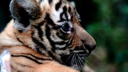 Seekor anak harimau China Selatan terlihat di Kebun Binatang Shanghai di Shanghai, China timur (28/8/2020). Kebun Binatang Shanghai meluncurkan kampanye publik untuk memberikan nama kepada keempat anak harimau betina yang lahir pada 4 Juli 2020 tersebut. (Xinhua/Zhang Jiansong)