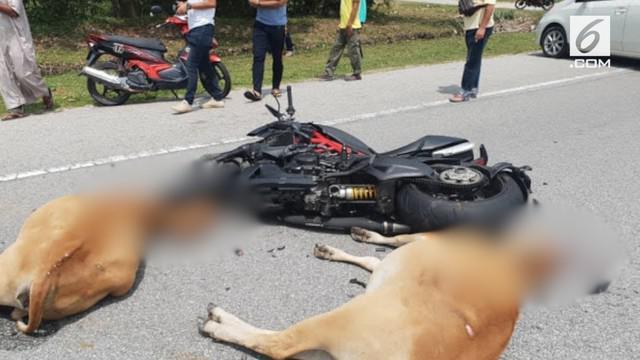 Seorang pengendara motor gede di Malaysia koma setelah menabrak dan diinjak-injak kawanan sapi.
