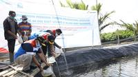 Sebanyak 60 ribu benih Udang Windu dan 20 ribu benih Ikan Bandeng ini ditaburkan di lokasi tambak khusus yang menggunakan teknologi polikultur biofilter. (Foto Pertamina)