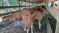Sapi bantuan dari Badan Restorasi Gambut untuk masyarakat penjaga kebasahan gambut di Kabupaten Bengkalis. (Liputan6.com/M Syukur)