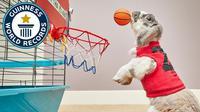 Bini, seekor kelinci, berhasil mencatatkan dirinya di Guinness World Record dengan slam dunk terbanyak selama 1 menit (Guinness World Record)