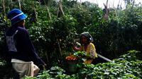 Panen tomat saat pagi hari di Kebun Kamtibmas, kawasan Putabangun, Kabupaten Kepulauan Selayar, Sulsel. (Liputan6.com/Eka Hakim)