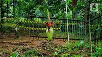 Kondisi Bunga Bangkai yang sedang mekar di Kebun Raya Bogor, Minggu (5/1/2020). Kondisi Bunga Bangkai tersebut tidak bisa bertahan lama dalam fase mekar. Bunga tersebut hanya mampu bertahan beberapa hari setelah mekar. (Merdeka.com/Fotografer Magang: Muhammad Fayyadh)