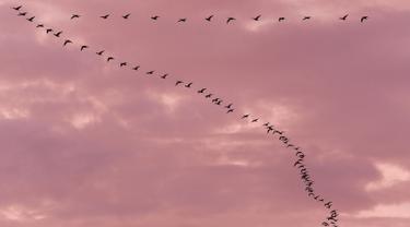 """Kawanan angsa terbang saat senja di atas Teufelsmoor, Gnarrenburg di utara Jerman, 16 Oktober 2018. Burung-burung angsa tersebut terbang dengan formasi berbentuk huruf """"V"""". (Photo by Patrik STOLLARZ / AFP)"""