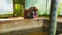 Harimau Sumatra bernama Atan Bintang yang pernah dievakuasi dari Kabupaten Indragiri Hilir karena meresahkan warga setempat. (Liputan6.com/Dok BBKSDA Riau/M Syukur)