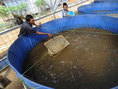 Peternak Kelompok Pembudidaya Ikan Maju Bersama memberikan pakan lele dengan metode pemeliharaan probiotik, Ciluar, Bogor, Jawa Barat, Selasa (6/8/2019). Probiotik adalah metode pemeliharaan lele dengan mereduksi air yang mengandung amoniak. (merdeka.com/Arie Basuki)